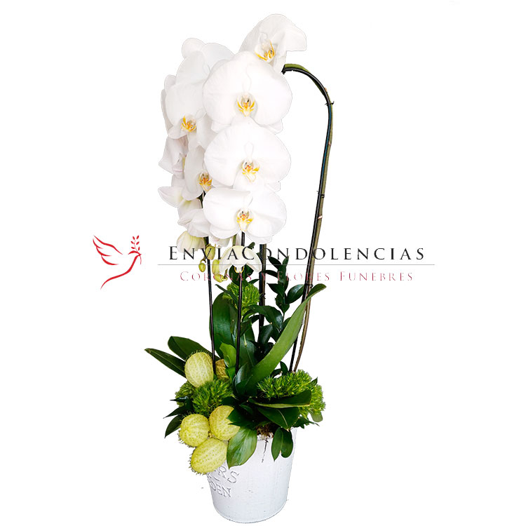 Orquídea Premium Angel de la Guarda