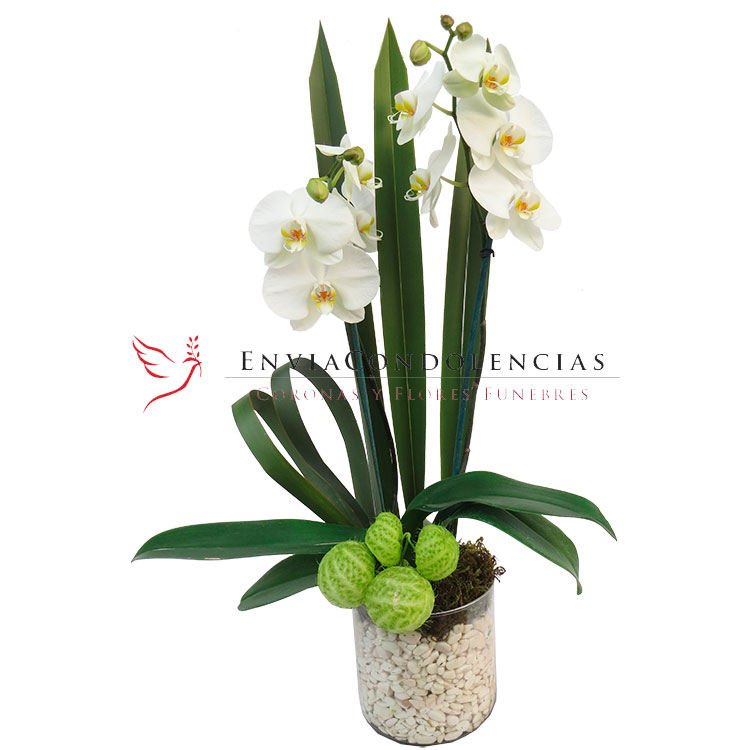 Orquídeas Cielo Lindo